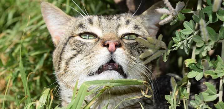 mũi mèo